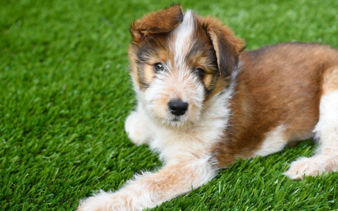 Three Major Perks of Artificial Turf for Dogs in Santa Rosa